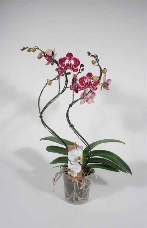 Оригинальные фото орхидей